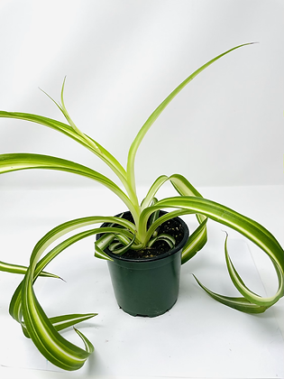 Spider Plant Curly 1