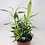 Thumbnail: Ribbon Plant