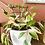 Thumbnail: Hoya carnosa tricolor 2