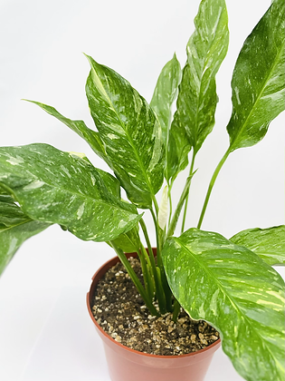 """Variegated Peace Lily 6"""" pot"""