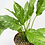 "Thumbnail: Variegated Peace Lily 6"" pot"
