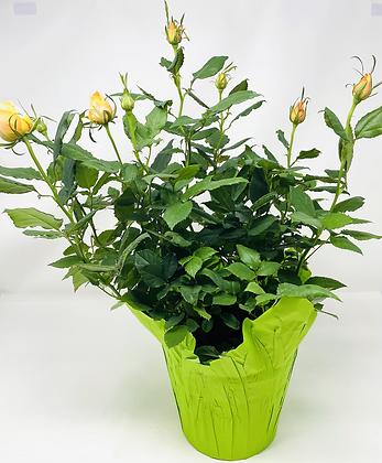 """Pot Rose 01 🥀 (6"""")"""