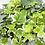 Thumbnail: Hedera Ivy
