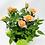 "Thumbnail: Pot Rose 🌹 04 (4"")"
