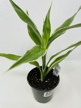 Draceana - Ribbon Plant