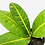 Thumbnail: Croton 1
