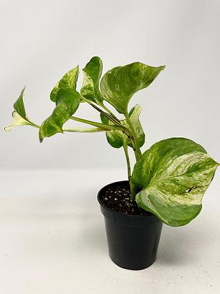 Manjula Pothos (D) - Full Plant