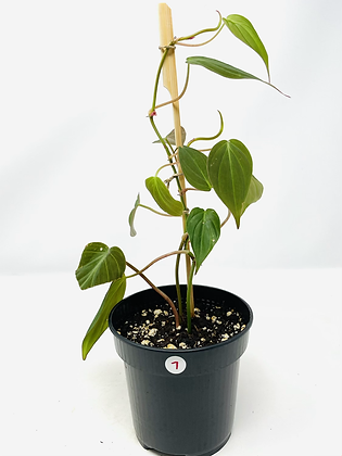 Philodendron Micans 7