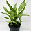 Thumbnail: Variegated Peace Lily (Domino Spathiphyllum)