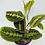 Thumbnail: Prayer Plant - Maranta Red