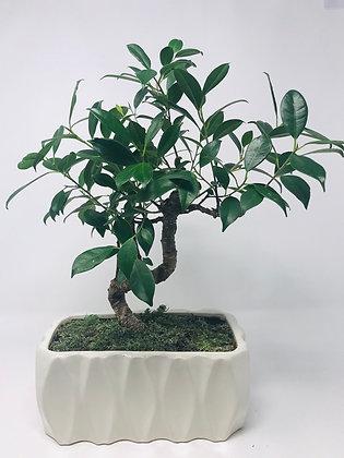 Bonsai - Golden Gate Ficus