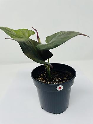 Syngonium Erythrophyllum 4