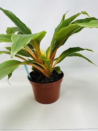 "Orange Spider Plant (6"" pot)"