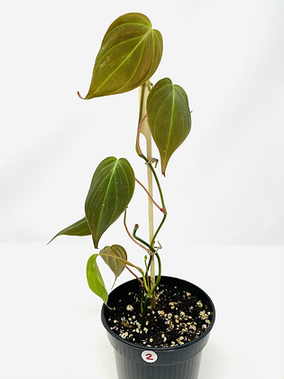 Philodendron Micans 2