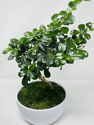 Bonsai - Fukien Tea Tree