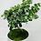 Thumbnail: Bonsai - Fukien Tea Tree
