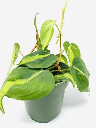 Philodendron Brasil 1