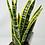 "Thumbnail: Snake Plant Variegated (6"" pot)"