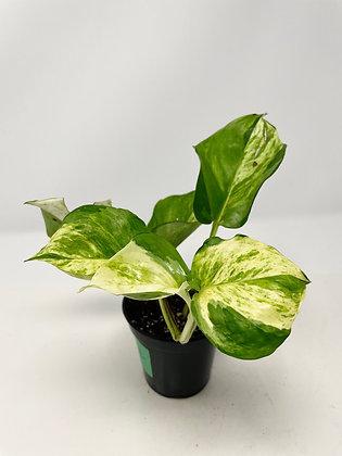 Manjula Pothos (C) - Full Plant