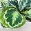 "Thumbnail: Calathea Medallion 1  (6"" pot)"