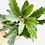 """Thumbnail: False Aralia (2.25"""" small pot)"""
