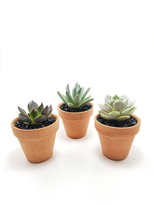 "Single Succulent Favour on 2.25"" Clay Pot"