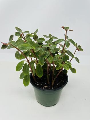 """Peperomia Rubella (4"""" pot)"""