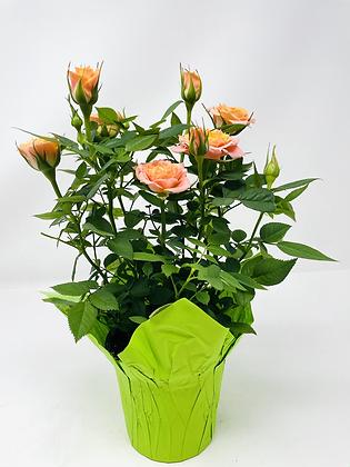 """Pot Rose 🌹 04 (4"""")"""