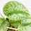 Thumbnail: Scindapsus Exotica 1