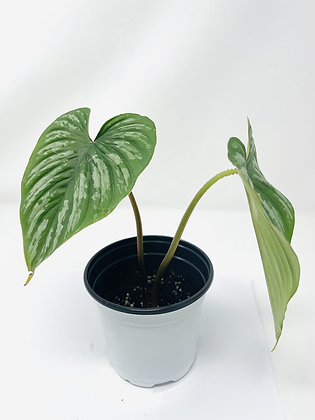 Philodendron Mamei Silver 1