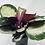 Thumbnail: Calathea Corona