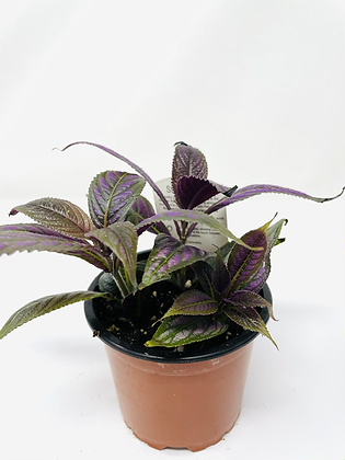 Persian Shield 1