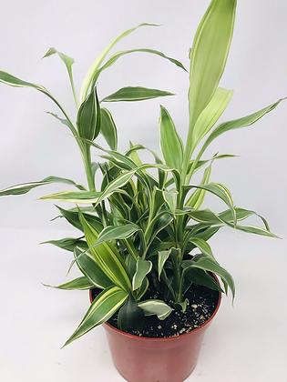 Ribbon Plant