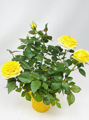 """Pot Rose 🌹 03 (4"""")"""