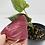 Thumbnail: Syngonium Erythrophyllum 4