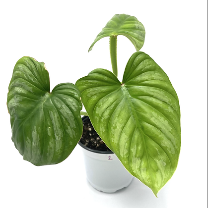Philodendron Mamei 2