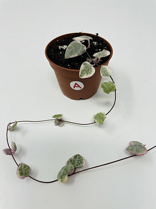 Variegated String of Hearts (A)