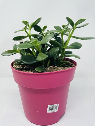 """Jade (7.5"""" pot )"""