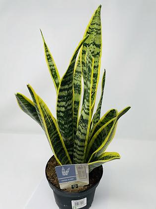 """Snake Plant Variegated (6"""" pot)"""
