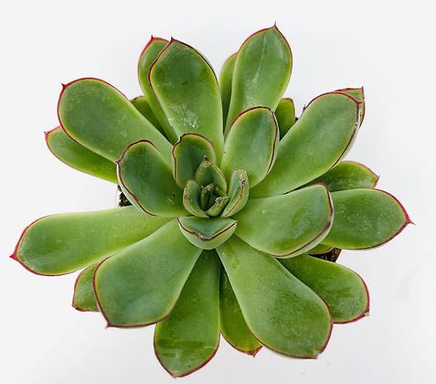 Echeveria Pelusida