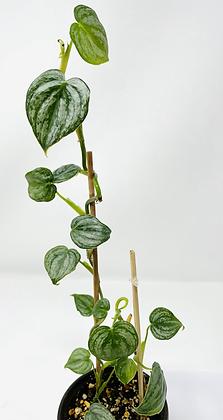 Philodendron Brandtianum 1