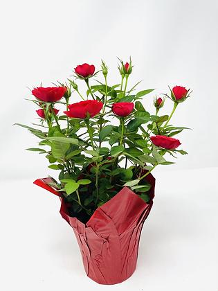 """Pot Rose 🌹 01 (4"""")"""