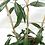 """Thumbnail: Hoya Pubicalyx Speckled (6"""" pot)"""
