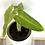 Thumbnail: Philodendron Jose Buono