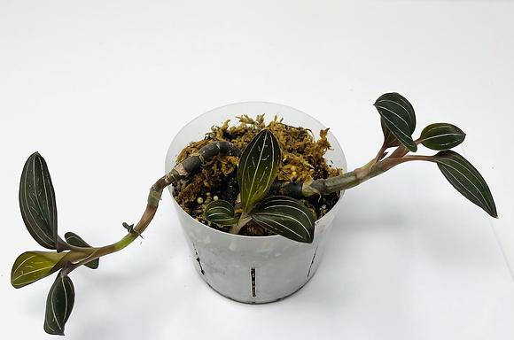 Jewel Orchid 1 (Ludisia Discolor)