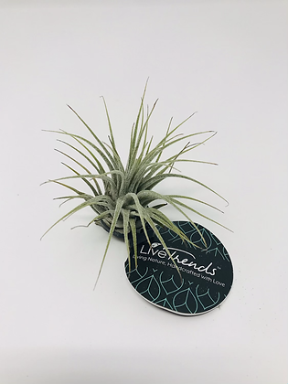 Small Airplants 01
