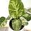 Thumbnail: Philodendron Gigantum Varigata