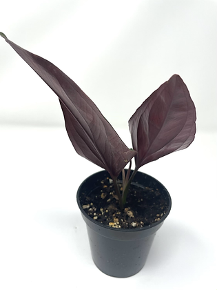 Syngonium Erythrophyllum 1
