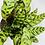"Thumbnail: Calathea Rattlesnake 1 (6"" pot)"