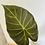 Thumbnail: Alocasia Regale Shield 1